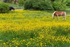 cheval de haflinger dans le pré de fleur de renoncule Image libre de droits