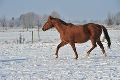 Cheval de Hanoverian en hiver Photos stock