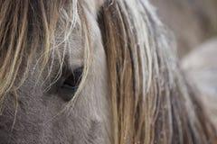 Cheval de Konik Images libres de droits