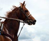 Cheval de la châtaigne du cowboy Photo libre de droits