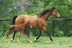 Cheval de mère