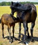 cheval de mère avec le poulain Photo stock