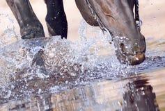 Cheval de marche noir en plan rapproché de l'eau Photos libres de droits