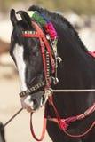Cheval de Marwari Image libre de droits