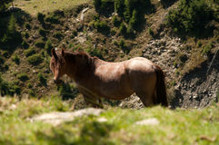 Cheval de montagne Photographie stock libre de droits