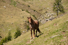 Cheval de montagne Photographie stock