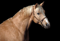 Cheval de Palomino Images stock