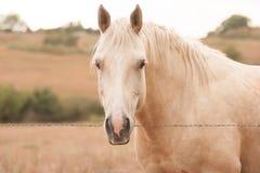 Cheval de palomino Photographie stock libre de droits