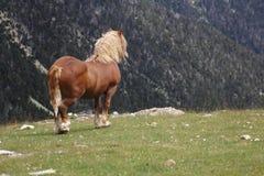 Cheval de perforateur de Suffilk dans la nature Images libres de droits