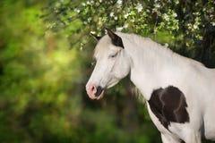 Cheval de Pinto dans la fleur Image libre de droits