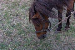 Cheval de poney photo stock