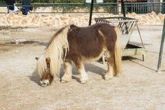 Cheval de poney de Brown Photographie stock libre de droits