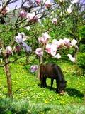 Cheval de poney de Brown Photographie stock