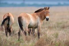 Cheval de Przewalskii sur le champ photo stock