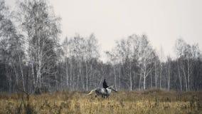 Cheval de Rider Riding A de mâle Équitation sur le fiield avec la forêt d'automne banque de vidéos