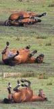 Cheval de roulement Photo stock