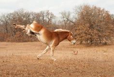 Cheval de trait belge fonctionnant et donnant un coup de pied à l'extérieur photos stock