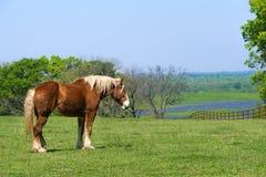 Cheval de trait belge sur le pâturage vert de ressort du Texas photographie stock