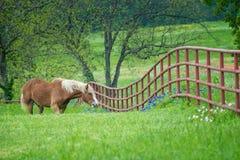 Cheval de trait belge sur le p?turage vert de ressort du Texas photos stock