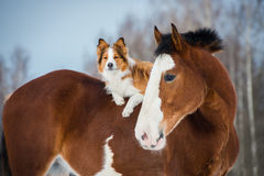 Cheval de trait et chien de border collie de rouge Photos stock