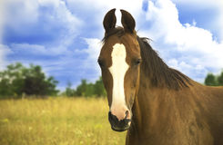 Cheval de Trakehner Photos libres de droits
