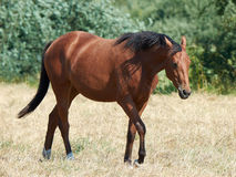 Cheval debout d'isolement Photo stock