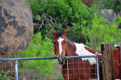 Cheval derrière la position et le regard de barrière Photos stock