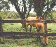 Cheval derrière une barrière en bois images stock