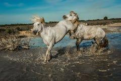 Cheval donnant un coup de pied et combattant Photos libres de droits