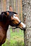 Cheval drôle mâchant sur le rondin d'arbre photographie stock