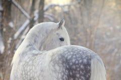 Cheval en hiver Images libres de droits