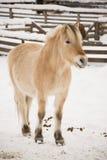 Cheval en hiver Photos libres de droits