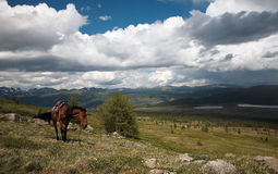 Cheval en montagnes de Sayan Images stock