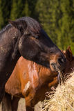 Cheval en nature sauvage Photographie stock