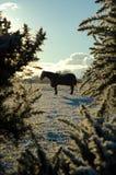 Cheval en silhouette Photographie stock libre de droits