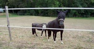 Cheval errant dans des terres de faune de zoo ou de ferme de la course de chevaux animale de noir du monde animal ou de leur habi banque de vidéos