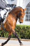 Cheval espagnol Images stock