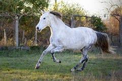 Cheval espagnol galopant dans un domaine photos stock