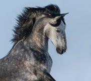 Cheval espagnol gris pommelé - portrait dans le mouvement Photo libre de droits