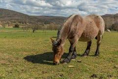 Cheval espagnol typique sur le pré Photos stock