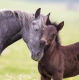 Cheval et amour et soin de poulain Photo libre de droits