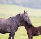 Cheval et amour et soin de poulain Photos libres de droits