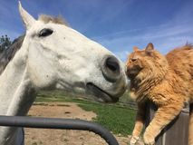 Cheval et chat toilettant chacun Images stock