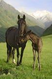 Cheval et colt Image libre de droits
