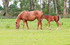 Cheval et jument de bébé équins Photo stock