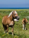 Cheval et poney dans le domaine Photo stock