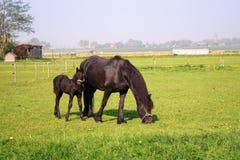 Cheval et poulain Photo libre de droits