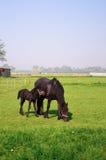 Cheval et poulain Photographie stock