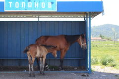 Cheval et poulain photographie stock libre de droits