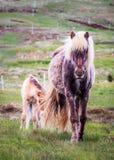 Cheval et poulain d'Icelandlic Images libres de droits